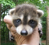 raccoon-removal-durham